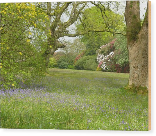 Bluebells And Rhododendrons Wood Print by Rob Sherwood