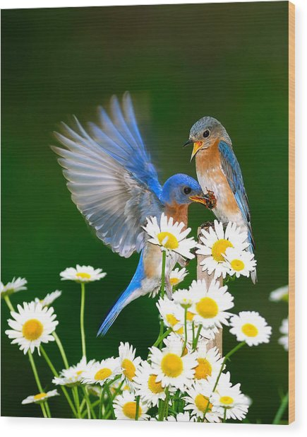 Bluebirds And Daisies Wood Print