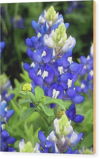 Bluebonnets Blooming Wood Print