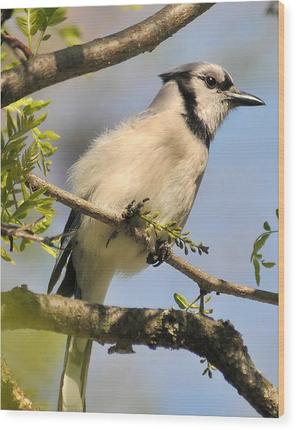 Bluejay 310 Wood Print