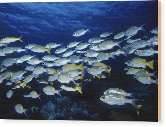 Bluelined Snappers And Yellowspot Emperors Wood Print