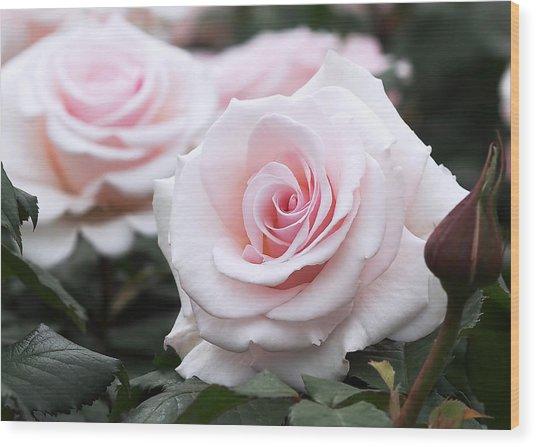 Blush Pink Roses Wood Print