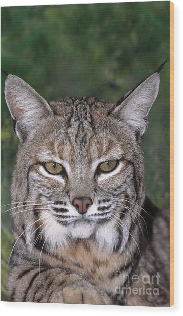 Bobcat Portrait Wildlife Rescue Wood Print