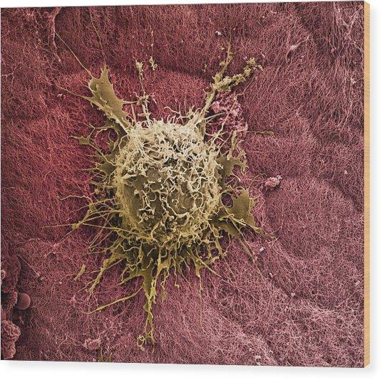 Bone Marrow Stem Cell On Cartilage Wood Print