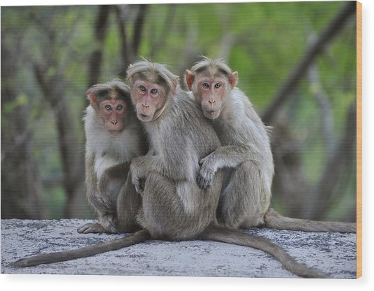 Bonnet Macaque Trio Huddling India Wood Print