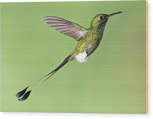 Booted Racket-tail Hummingbird Wood Print by Tony Camacho/science Photo Library