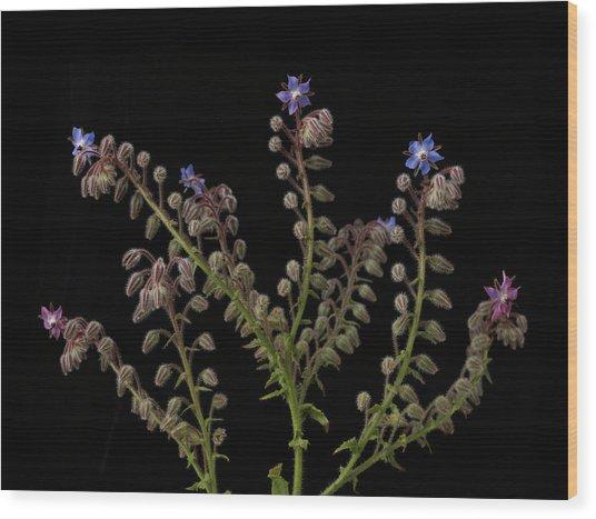 Borage Plants On Black Background Wood Print by William Turner