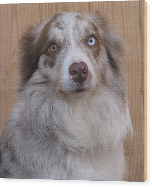 Border Collie With Blue-eyed Wood Print