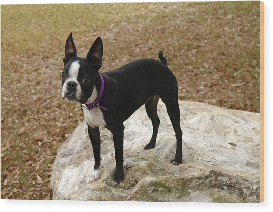 Boston Terrier On The Rock Wood Print