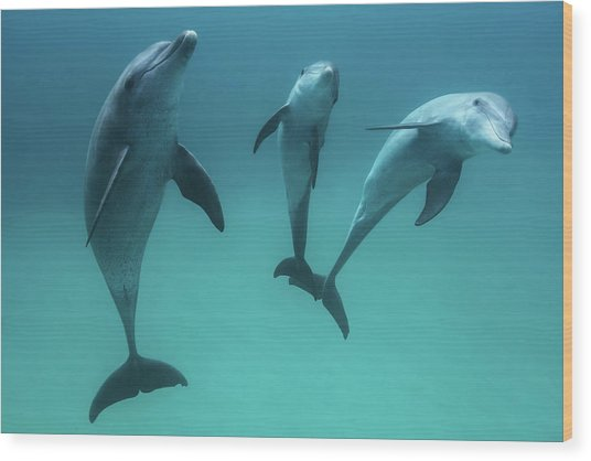 Bottlenose Dolphins Wood Print by Barathieu Gabriel