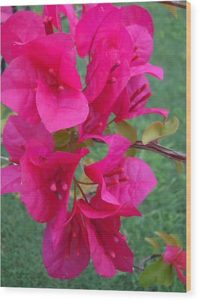 Bougainvillea Dream #2 Wood Print
