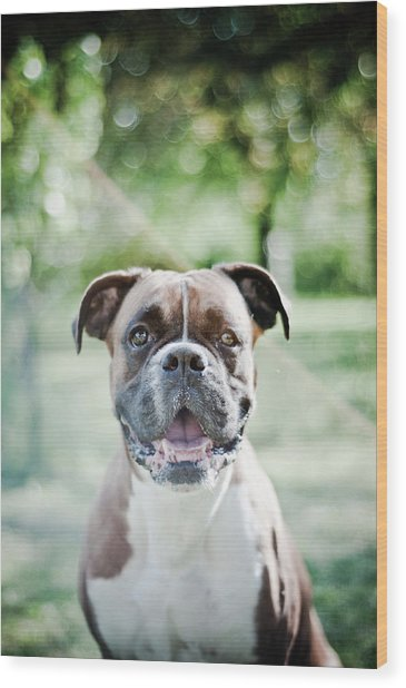 Boxer Dog Breed Wood Print by Yanis Ourabah