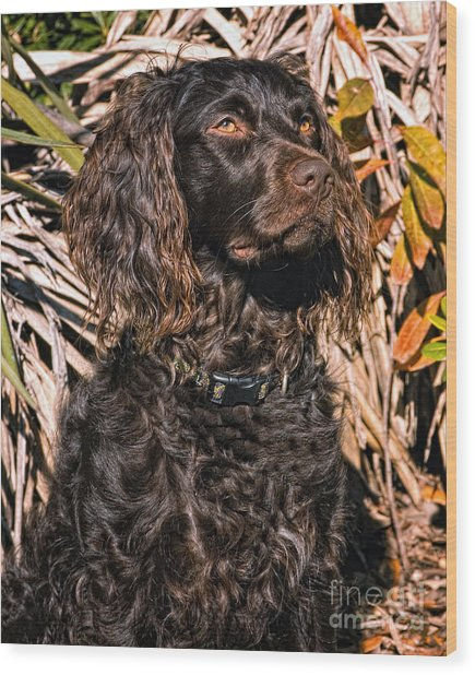 Boykin Spaniel Portrait Wood Print
