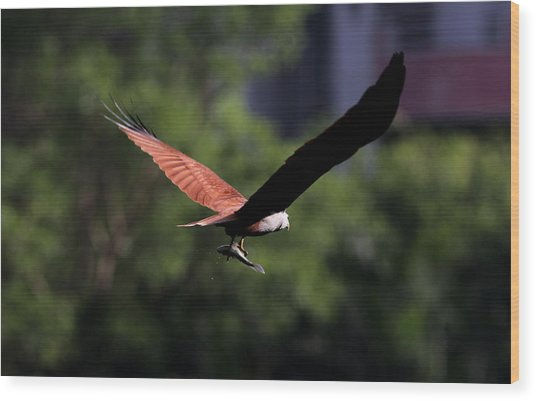Brahminy Kite With Catch  Wood Print