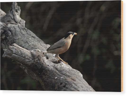 Brahminy Starling Wood Print