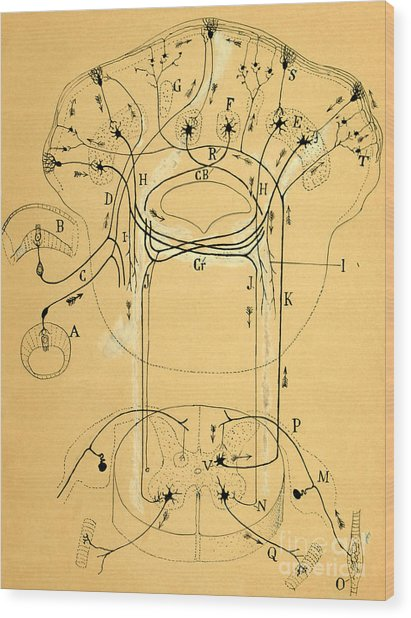 Brain Vestibular Sensor Connections By Cajal 1899 Wood Print
