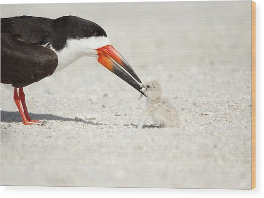 Black Skimmer And Chick. Wood Print