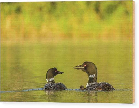 Breeding Pair Of Common Loons Wood Print