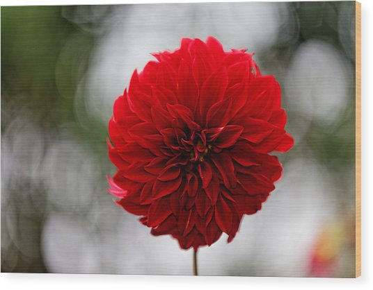 Bright Red Dahlia Wood Print