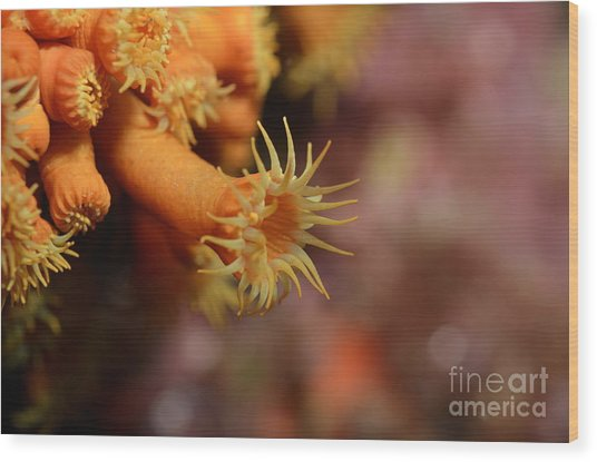 Brightly Colored Yellow Encrusting Anemone Wood Print by Sami Sarkis