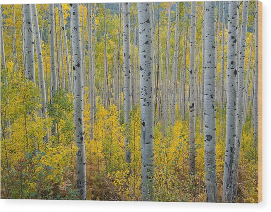 Brilliant Colors Of The Autumn Aspen Forest Wood Print