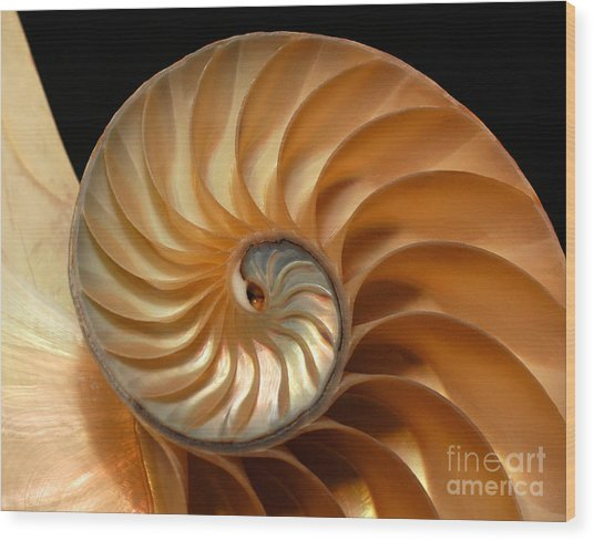 Brilliant Nautilus Wood Print