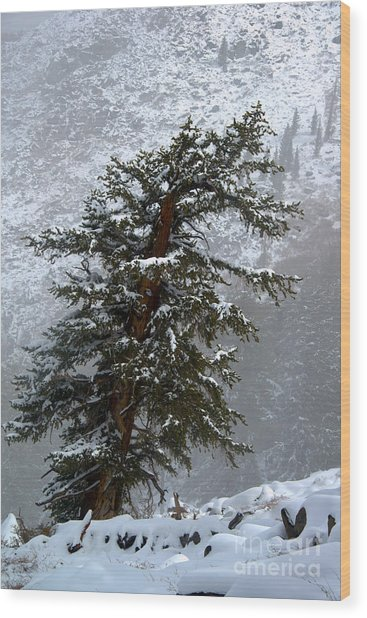 Bristlecone Pine In Snow Wood Print