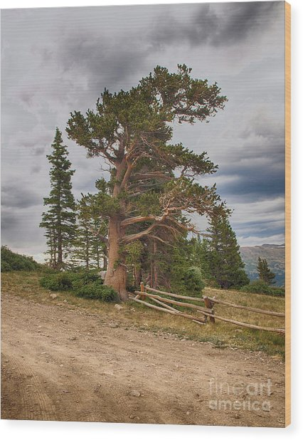 Bristlecone Pines Wood Print