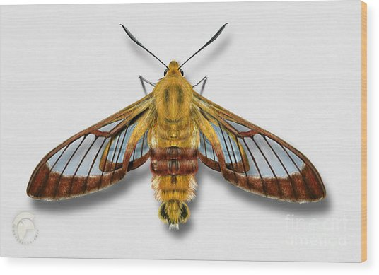 Broad-bordered Bee Hawk Moth Butterfly - Hemaris Fuciformis Naturalistic Painting -nettersheim Eifel Wood Print