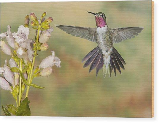 Broad Tailed Hummingbird 2 Wood Print