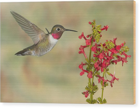 Broad-tailed Hummingbird 5 Wood Print