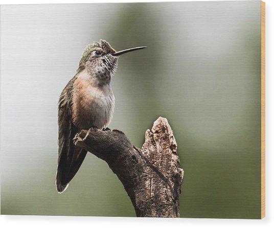 Broad-tailed Hummingbird Sit  Wood Print