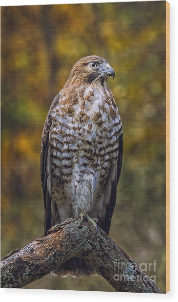 Broad Winged Hawk Wood Print by Todd Bielby