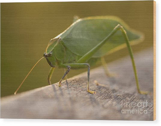 Broad-winged Katydid Wood Print