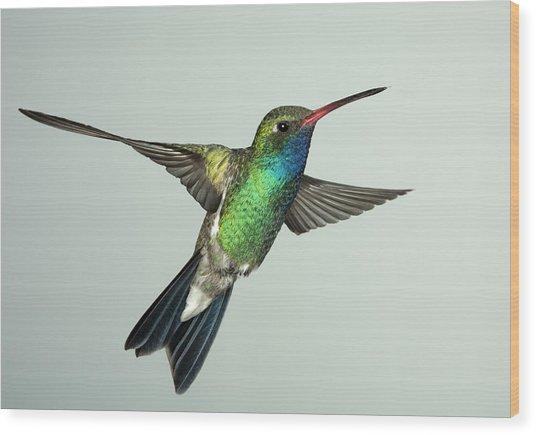 Broadbill Hummingbird Alternate Wing Pose Wood Print