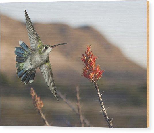 Broadbill Hummingbird And Octicillo Wood Print