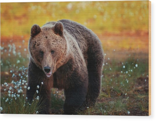 Brown Bear In Forest, Finland Wood Print by Laurenepbath