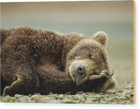 Brown Bear, Katmai National Park, Alaska Wood Print by Paul Souders