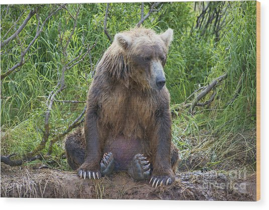 Brown Bear Sitting Waiting For Salmon Wood Print by Dan Friend