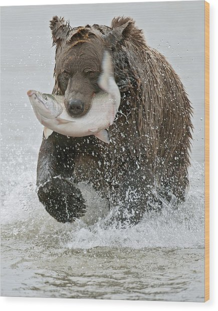 Brown Bear With Salmon Catch Wood Print