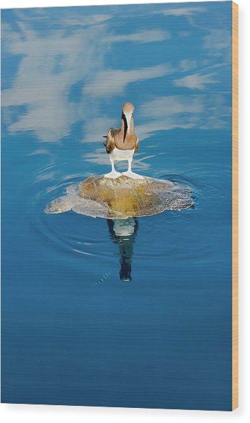Brown Booby And Marine Turtle Wood Print