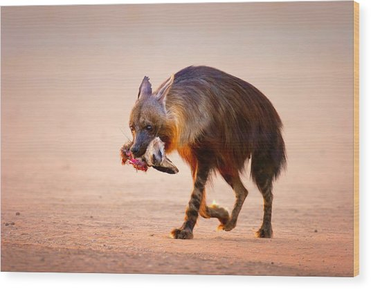 Brown Hyena With Bat-eared Fox In Jaws Wood Print