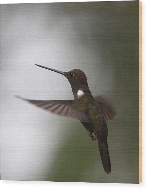 Brown Inca Hummingbird Wood Print