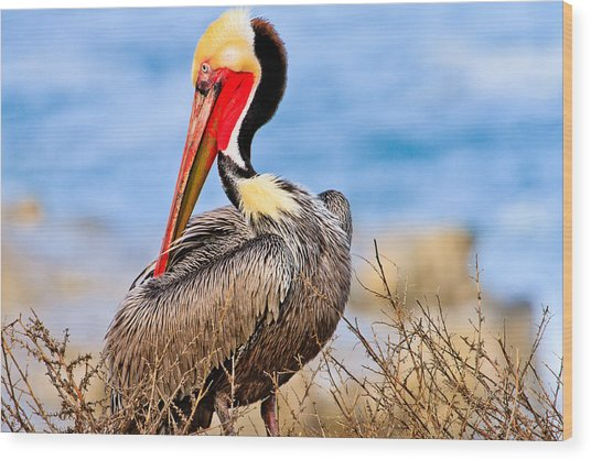 Brown Pelican Posing Wood Print