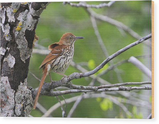 Brown Thrasher Wood Print by Gary Hall
