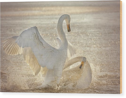 Brutal Swan Fight Wood Print