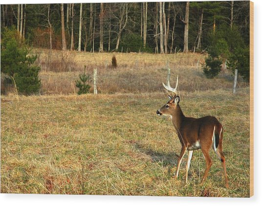 Buck In Cades Cove Wood Print by John Saunders