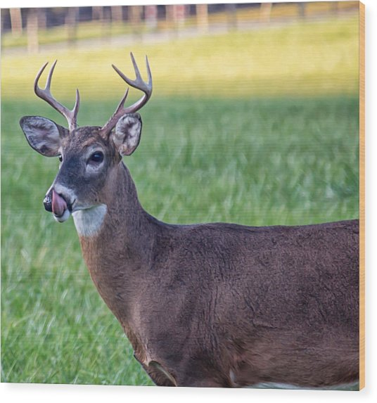 Buck Licking His Chops At Cades Cove Inside Of The Great Smoky Mountains National Park Wood Print