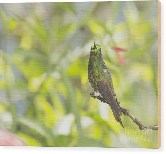 Buff-tailed Coronet Hummingbird Wood Print