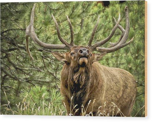 Bugling Bull Elk II Wood Print